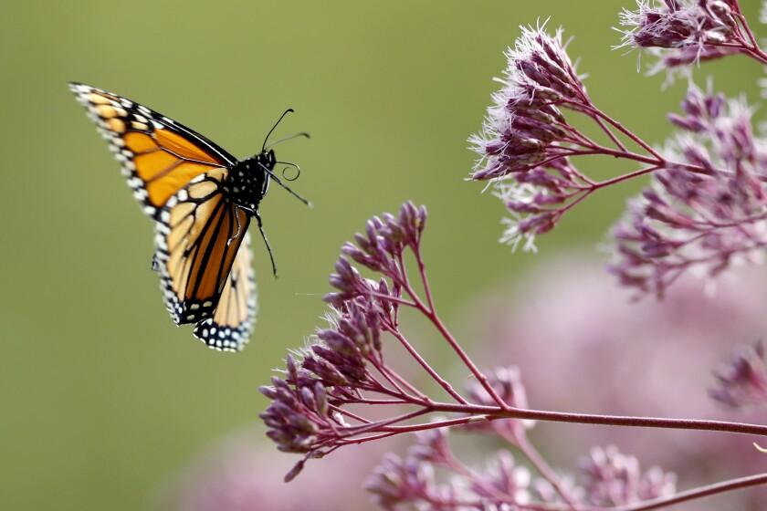 En esta fotografía del 28 de agosto de 2019, una mariposa monarca vuelta hacia una hierba Joe Pye