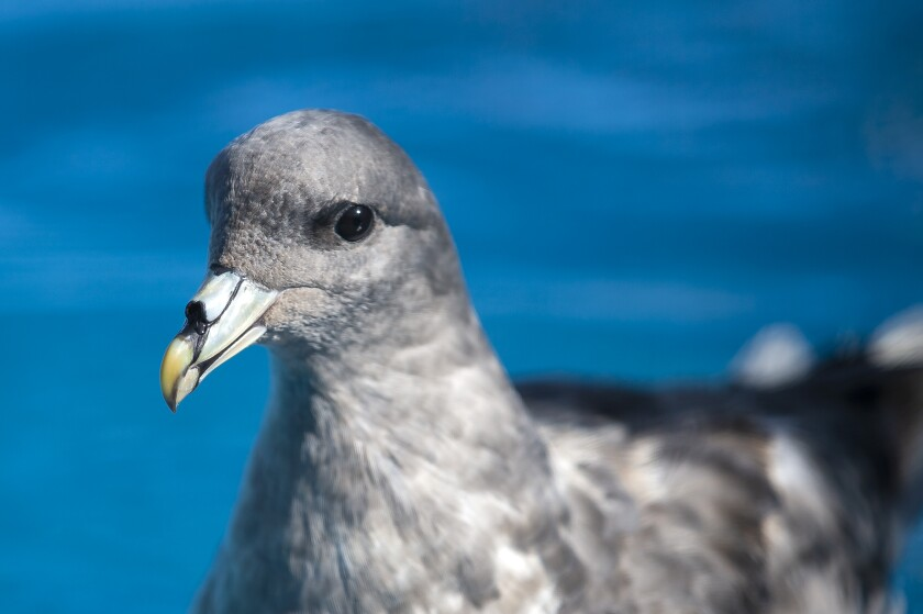 A northern fulmar rescued in June, was released Friday by staff from the Wetlands & Wildlife Care Center.