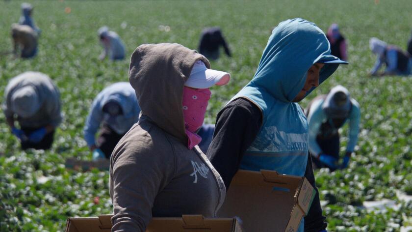 Foto de archivo de trabajadores campesinos. De acuerdo con UFW, el sindicato que crearon César Chávez y Dolores Huerta, las fatalidades ocurrieron el martes y el miércoles en viñedos de Delano, Arvin y McFarland, todos en la zona centro de California.