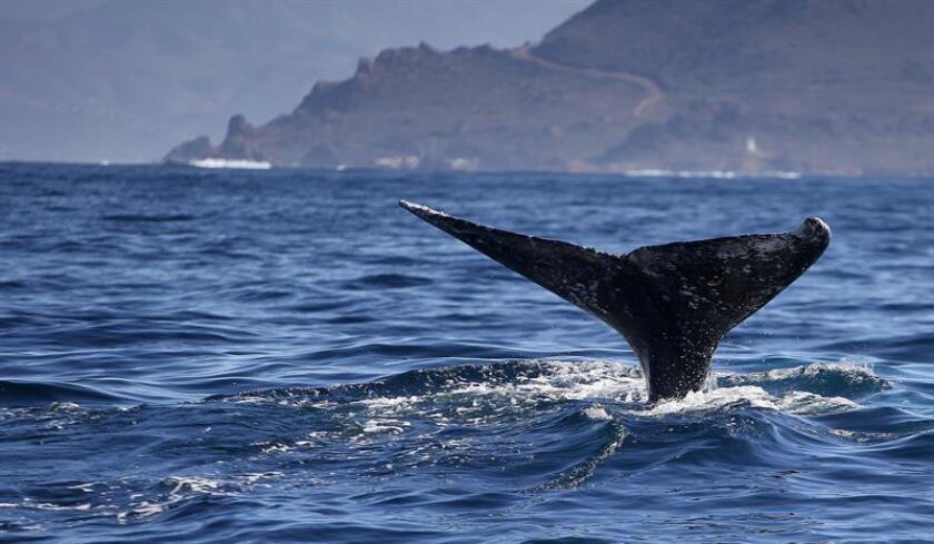 Entre los meses de enero y marzo, México recibe a la ballena azul, considerado el mamífero más grande del mundo, en las aguas del Parque Nacional (PN) Bahía de Loreto, en el noroccidental estado de Baja California Sur. EFE/ARCHIVO