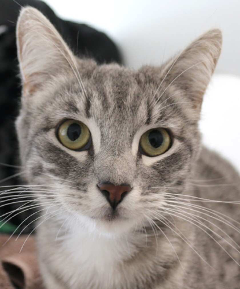 The Pet of the Week is a shy kitty at the Rancho Coastal Humane Society.