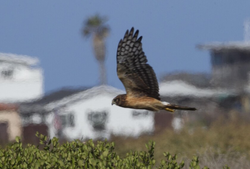 The northern harrier, or marsh hawk, shown here overing over the Tijuana Slough National Wildlife Refuge on Tuesday October 1, 2019, is one of the primary predators of the light-footed Ridgway's rail.