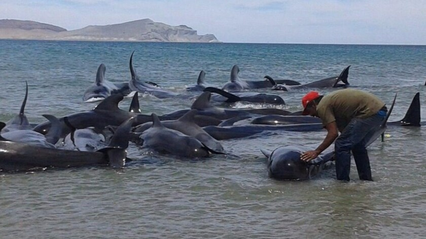A rescue volunteer attempts to move beached pilot whales to deeper waters on Saturday in the Gulf of California, south of San Felipe. Of the 27 whales, only three survived.