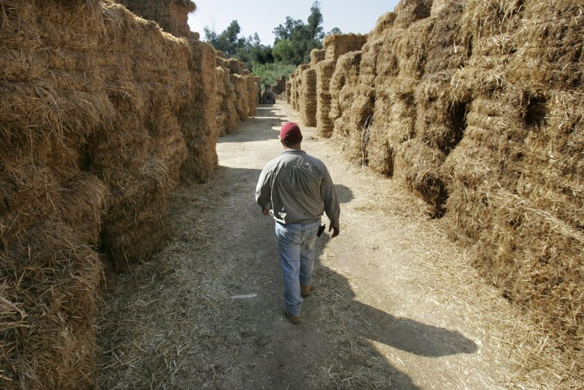 At Mountain Meadow Mushrooms, where baled recycled straw rose above co-owner Roberto Ramirez, discarded stable bedding from the Del Mar racing season will last the farm most of the year. (Charlie Neuman / Union-Tribune)