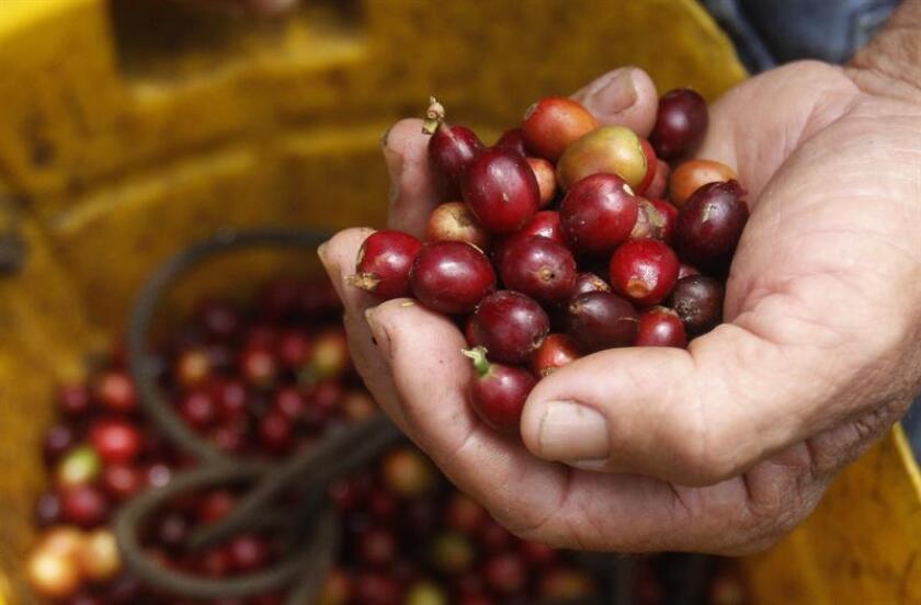 El secretario de Agricultura de Puerto Rico, Carlos Flores Ortega, anunció hoy que su agencia, junto con la Fundación Starbucks, importarán alrededor de dos millones de semillas de café a la isla ante la falta de su cosecha tras su destrucción por el huracán María. EFE/Archivo