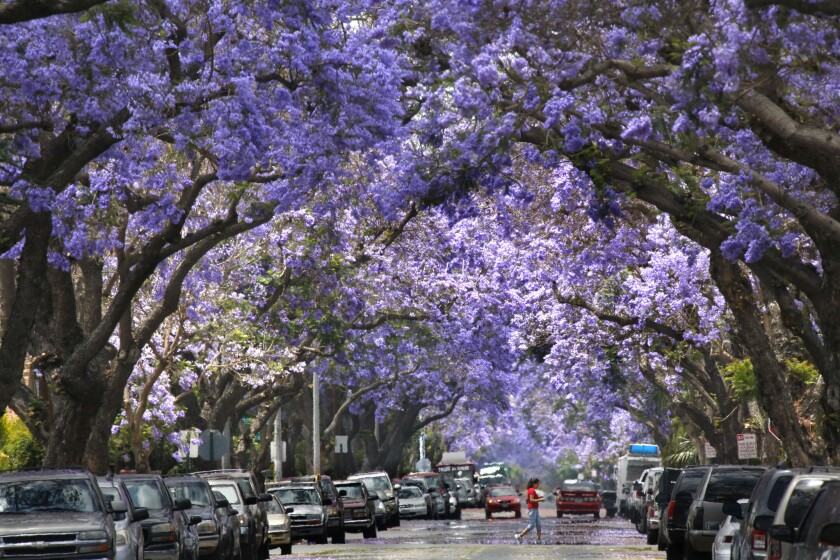 Jacarandas: You either love them or hate them - Los Angeles