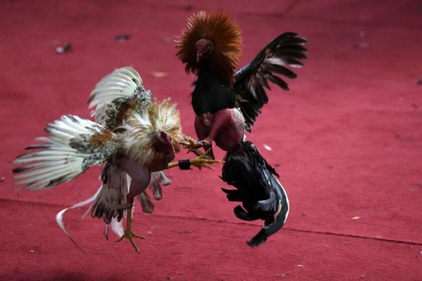 Secuencia de una pelea de gallos en Puerto Rico. EFE/Archivo