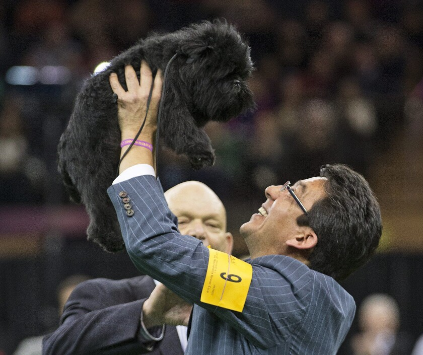 Ernesto Lara celebrates Banana Joe's best in show victory at the Westminster Kennel Club dog show in 2013. This year's winner will be announced Tuesday.