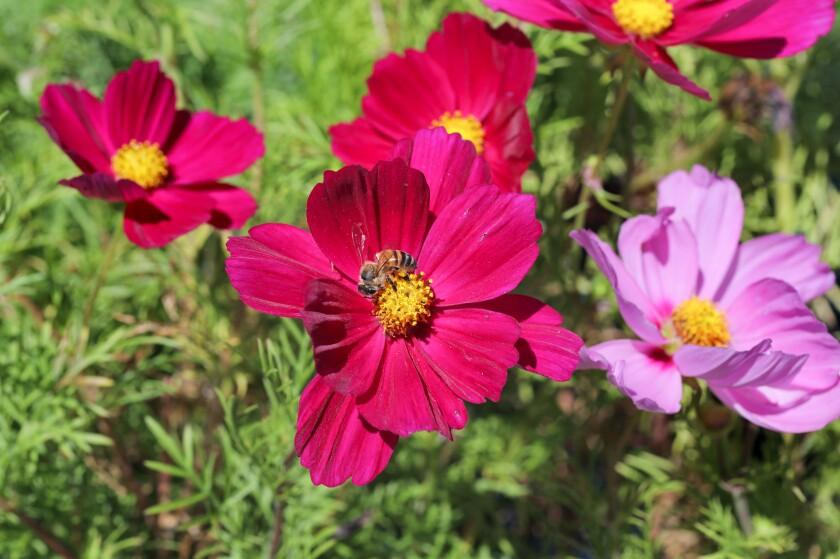 At Walter Andersen Nursery a bee pollinates a Cosmos Bipinnatus flower.
