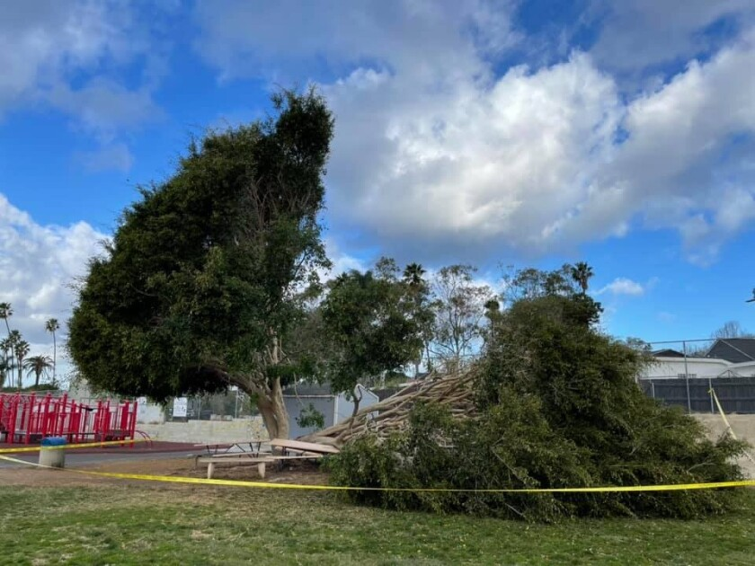 This ficus tree on the Bird Rock Elementary joint-use field was damaged during a storm this year and was later removed.