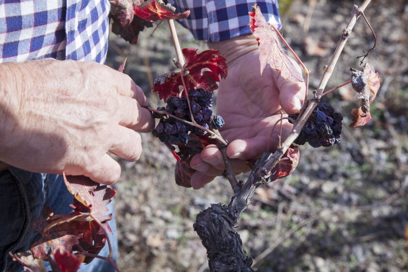 Rich Czapleski, owner of Canard Winery, shows off some of the leftover grapes from the recent harvest in his zinfandel vineyard.