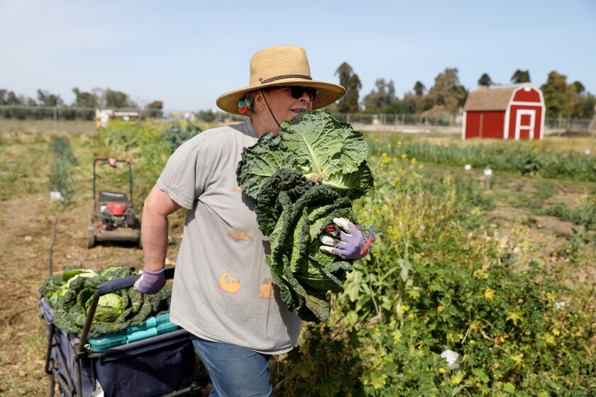Sherril Wells harvests famosa cabbage and other vegetables planted by her late husband, Rodney Wells, in Fresno.