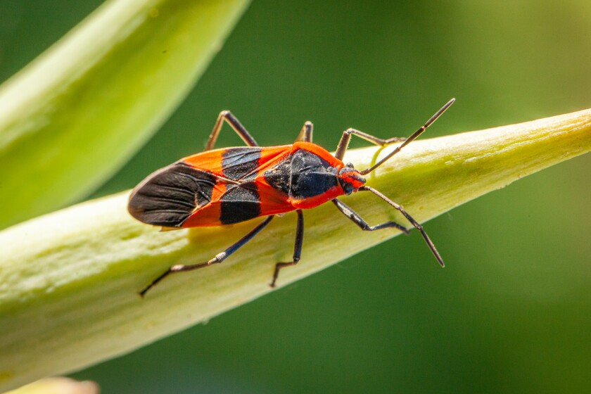 Large milkweed bug.jpg
