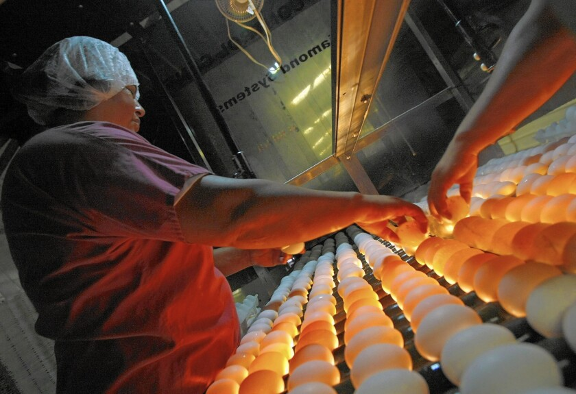 Aida Garcia looks for eggs with thin shells or other flaws on a lighted conveyor at Armstrong Egg Farms in Valley Center, Calif.