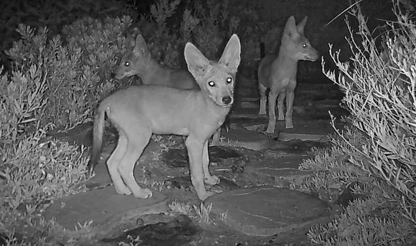 Three coyote youngsters caught on camera this month.