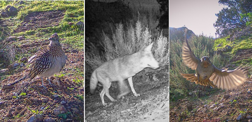 Caught on camera: a roadrunner, a coyote in the dead of night and a towhee in flight.