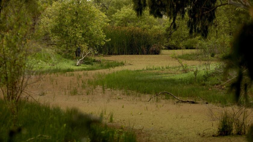 The Madrona Marsh Preserve in Torrance can provide a lush landscape, at certain times of the year.