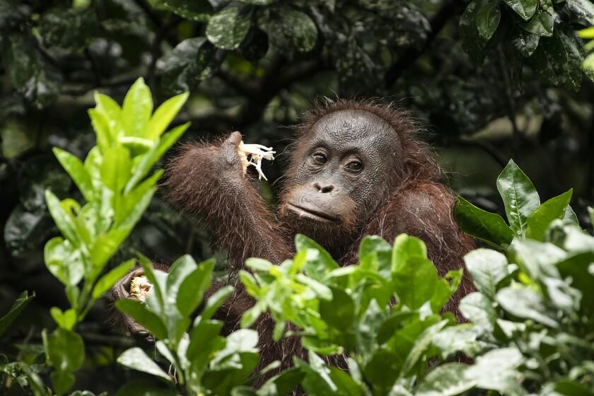 An orangutan sitting among plants.