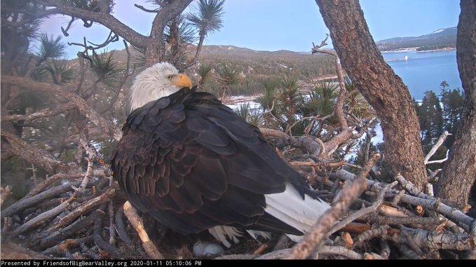 Bald eagle mama lays second egg in San Bernardino nest