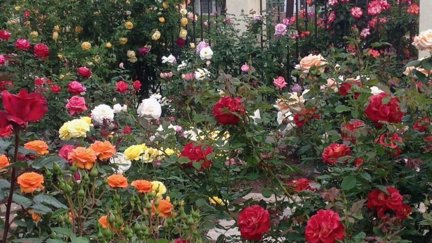 Well-fed shrub, floribunda and hybrid tea roses in Rita Perwich's garden.