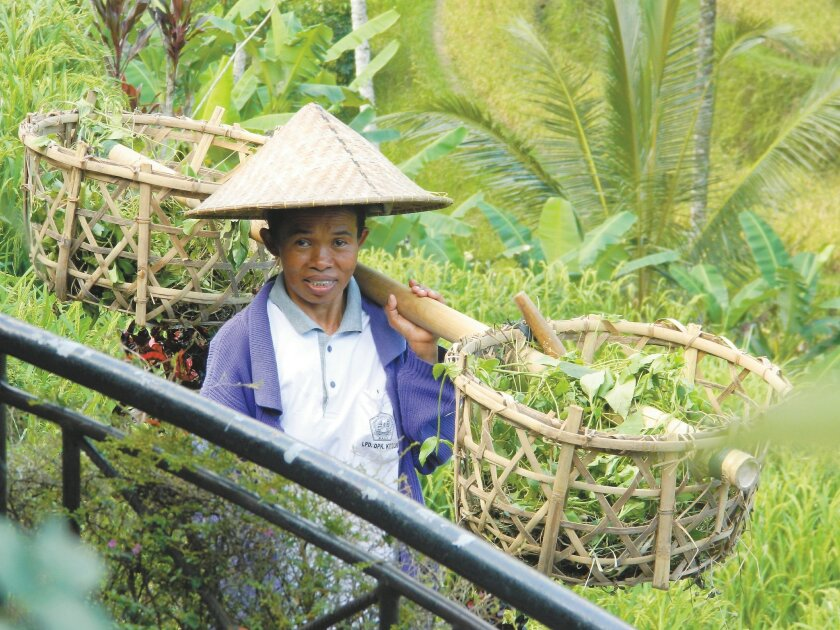 A Balinese rice worker pauses for a photo.