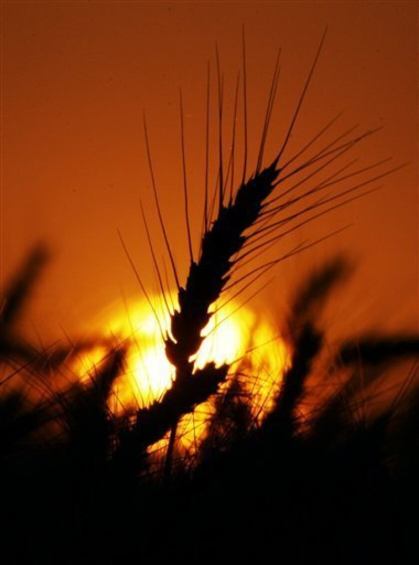FILE - In this June 11, 2010 file photo, wheat stands against a setting sun near Isabel, Kan. Vance Ehmke tracks global grain markets as closely as he watches the weather forecasts, so when his winter wheat crop was nearly double its normal size, he hoped all those extra bushels would make up for lackluster prices amid a global grain glut. (AP Photo/Orlin Wagner, file)