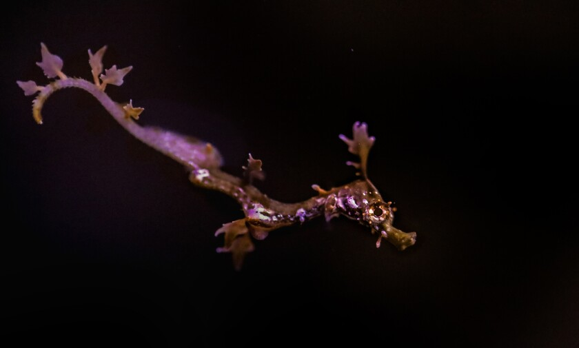 UC San Diego's Birch Aquarium bred and hatched a pair of Weedy Seadragons for the first time.