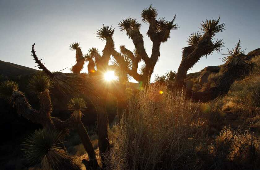 Joshua trees dot the landscape at sunrise in Butterbredt Springs.