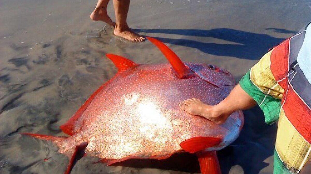 ENCINITAS: Giant fish washes ashore in Leucadia - The San Diego  Union-Tribune