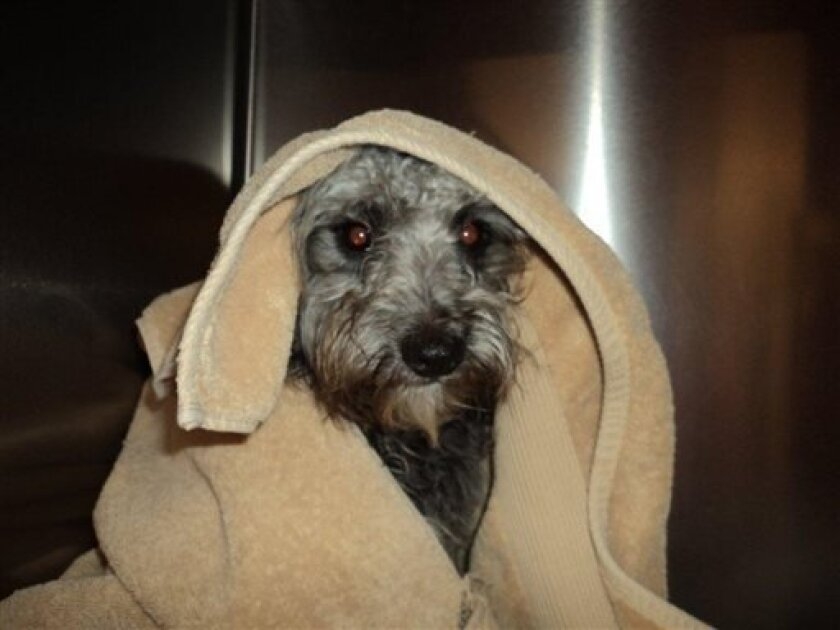 This image provided by Riverside County Animal Services shows Banjo, a 10-month-old poodle-terrier mix that was tied to train tracks in the California desert and rescued by Riverside County Animal Services Tuesday April 2, 2013. (AP Photo/)Riverside County Animal Services