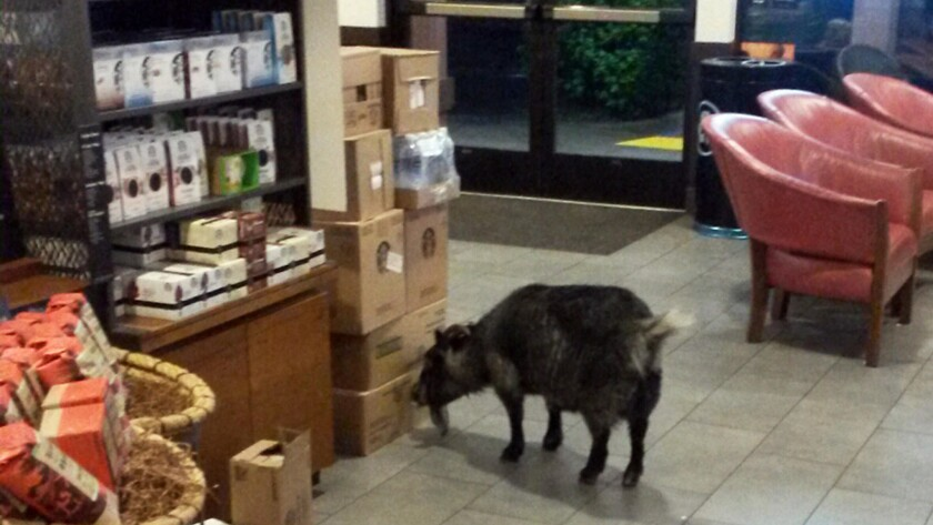 Millie the goat wandered into a Starbucks in Rohnert Park, Calif., on Sunday. She was eventually returned to her owners.