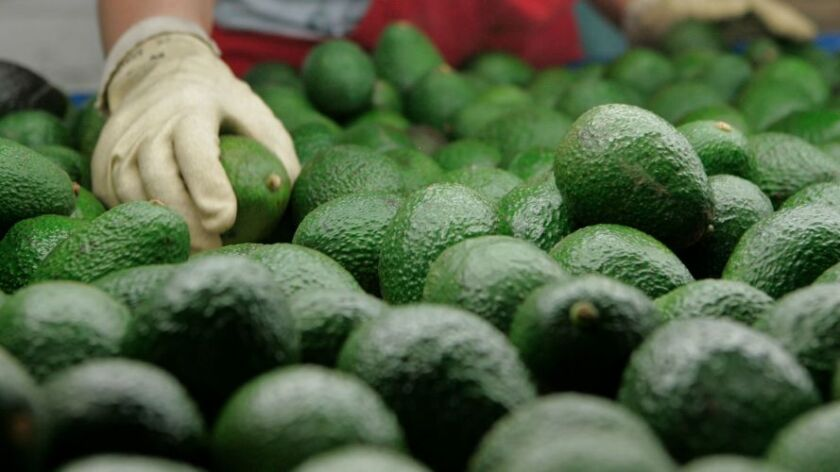 At Del Rey Avocado Company Inc. just picked avocados are sorted for packing and shipping.
