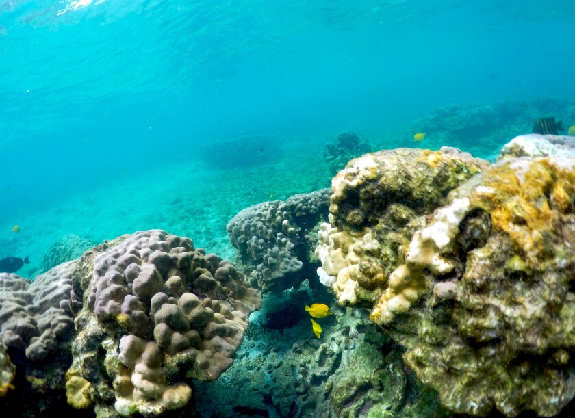 APTOPIX Hawaii Coral Bleaching