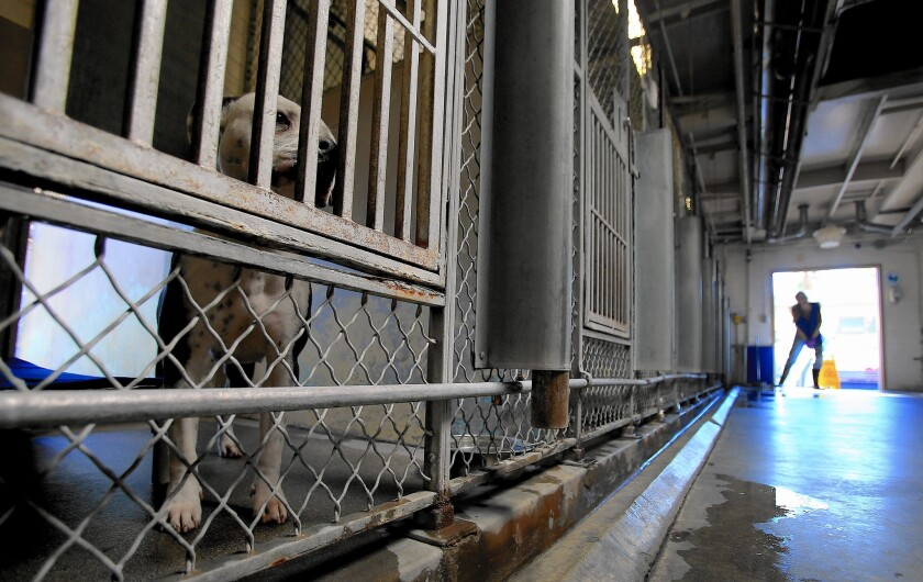 """A dog peers out from a pen at an L.A. County animal shelter in Baldwin Park. The number of dogs and cats euthanized in Los Angeles shelters has dropped significantly since the city's """"No Kill"""" campaign began."""
