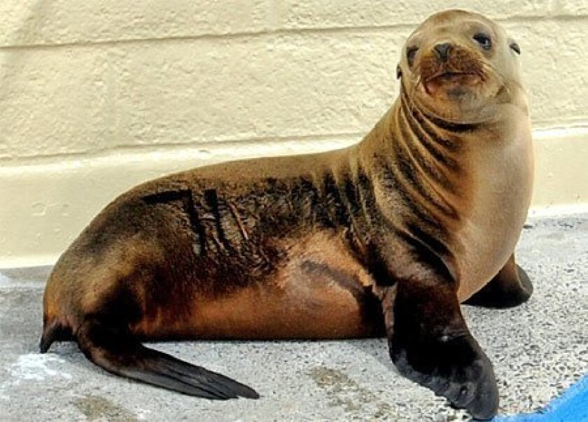 A young  California sea  lion was rescued  Tuesday night  from a  restaurant  parking lot in  Del Mar, east of  Interstate 5.  He's being  monitored at  SeaWorld. (SeaWorld)