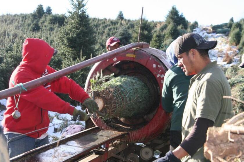 Imagen de varios trabajadores mexicanos que laboran en la siembra, poda, carga y distribución de árboles de Navidad en Carolina del Norte. EFE/ALEXANDRA VILCHEZ/Archivo