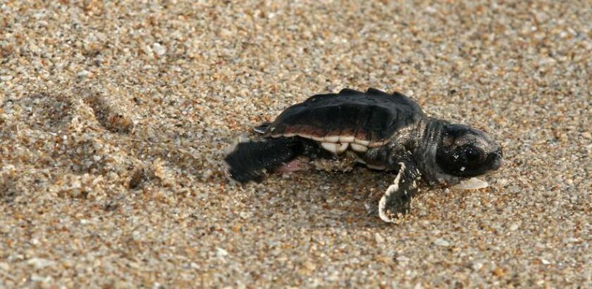Piden playas oscuras y sin obstáculos para anidación de tortugas en Florida