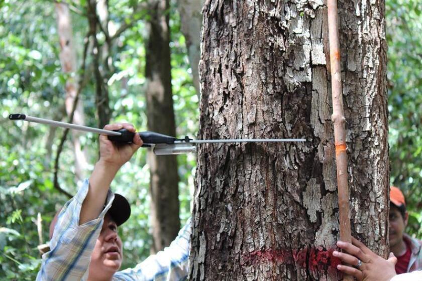 Fotografía cedida hoy, viernes 16 de febrero de 2018, por el Consejo Nacional de Ciencia y Tecnología (Conacyt), que muestra a un científico midiendo los valores de un árbol en Ciudad de México (México). Científicos mexicanos desarrollaron un sistema biométrico que calcula los valores de árboles o masas forestales para determinar su volumen y productos maderables, informó hoy el Consejo Nacional de Ciencia y Tecnología (Conacyt). EFE/Conacyt/ SOLO USO EDITORIAL / NO VENTAS