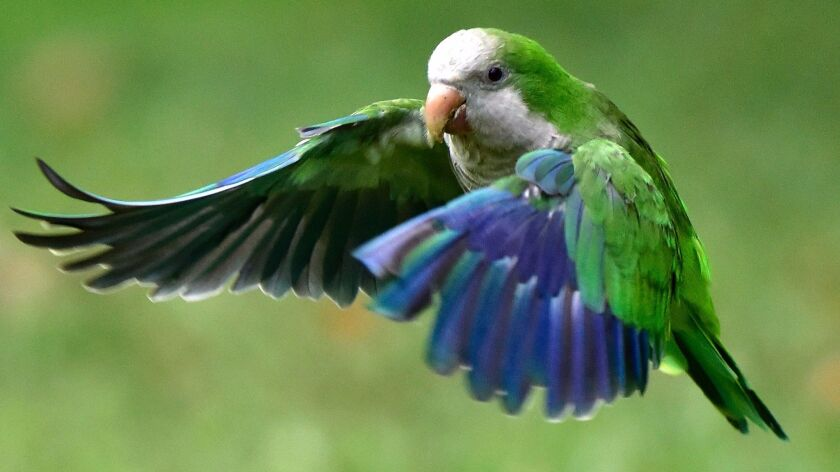 Parakeets can be easygoing road-trip companions.