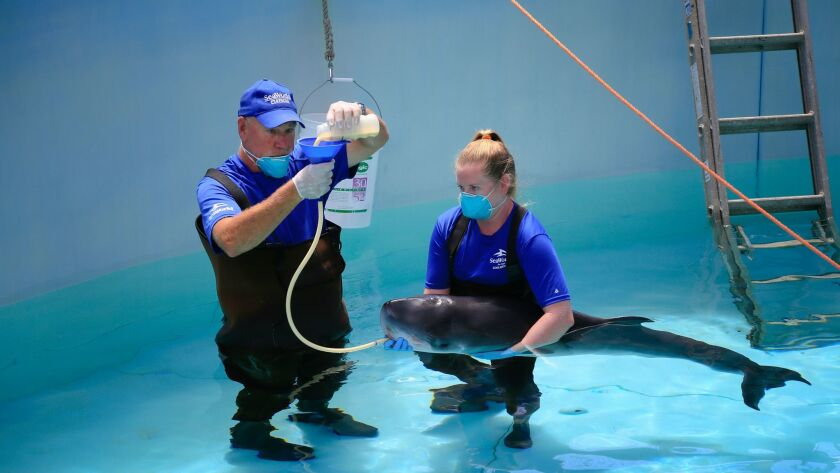 SeaWorld Rescue & a young Pygmy Sperm Whale