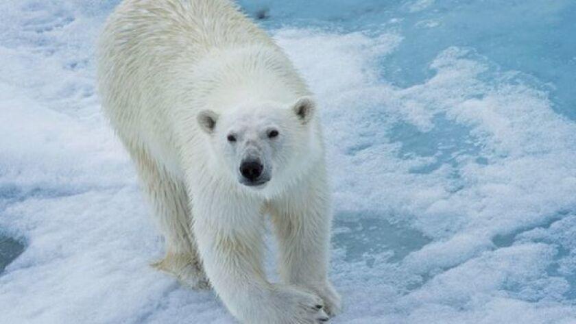 Los osos polares son especies protegidas.