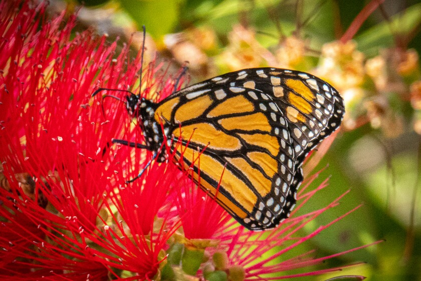 The monarch butterfly is a frequent visitor to gardens in San Diego County.