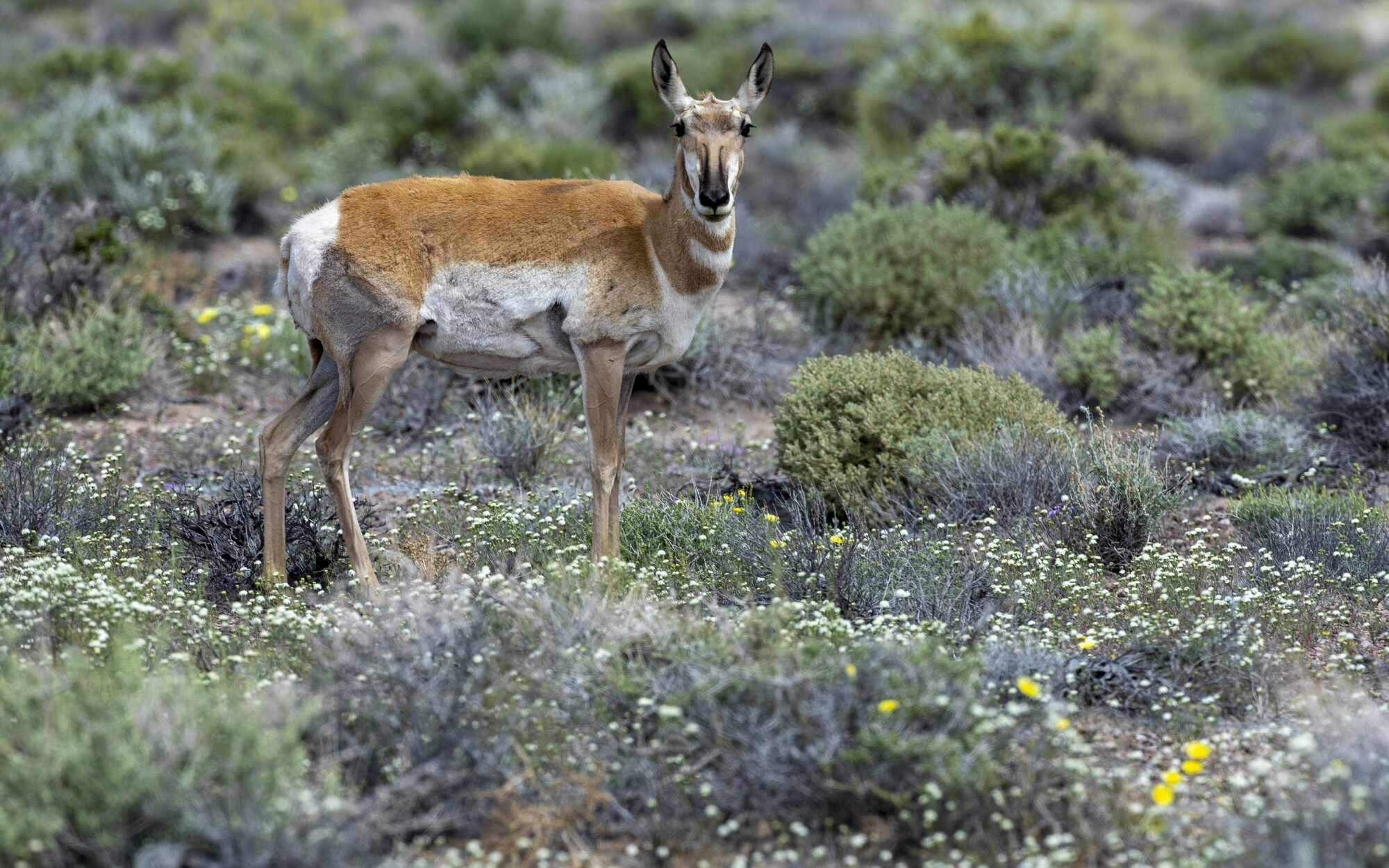 535399-me-pronghorn-antelope-10-BRV.jpg