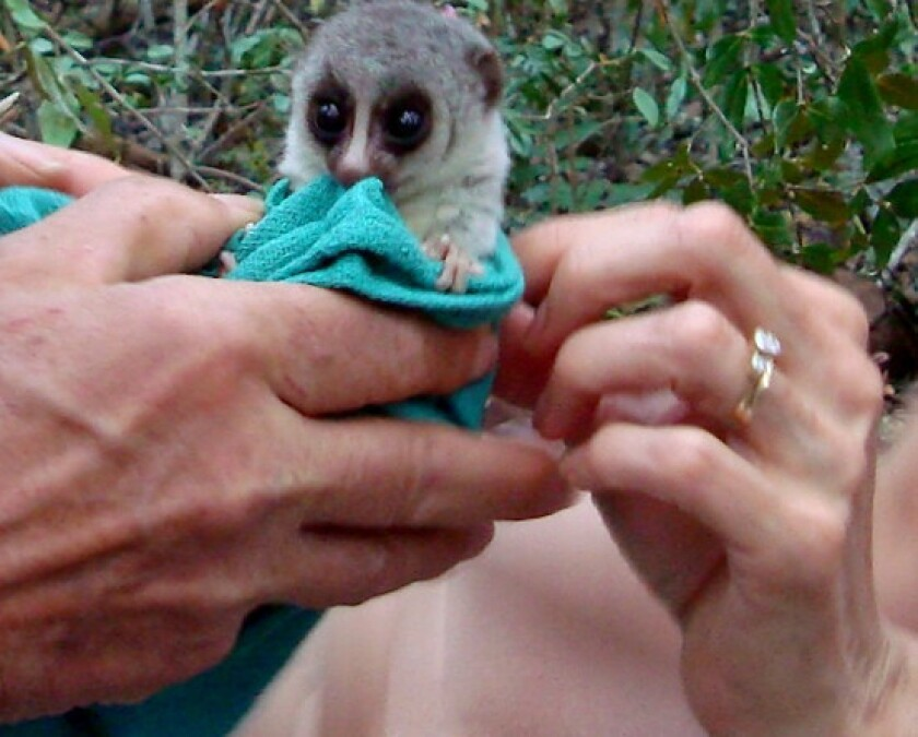 The fat-tailed dwarf lemur is the first primate known to hibernate.
