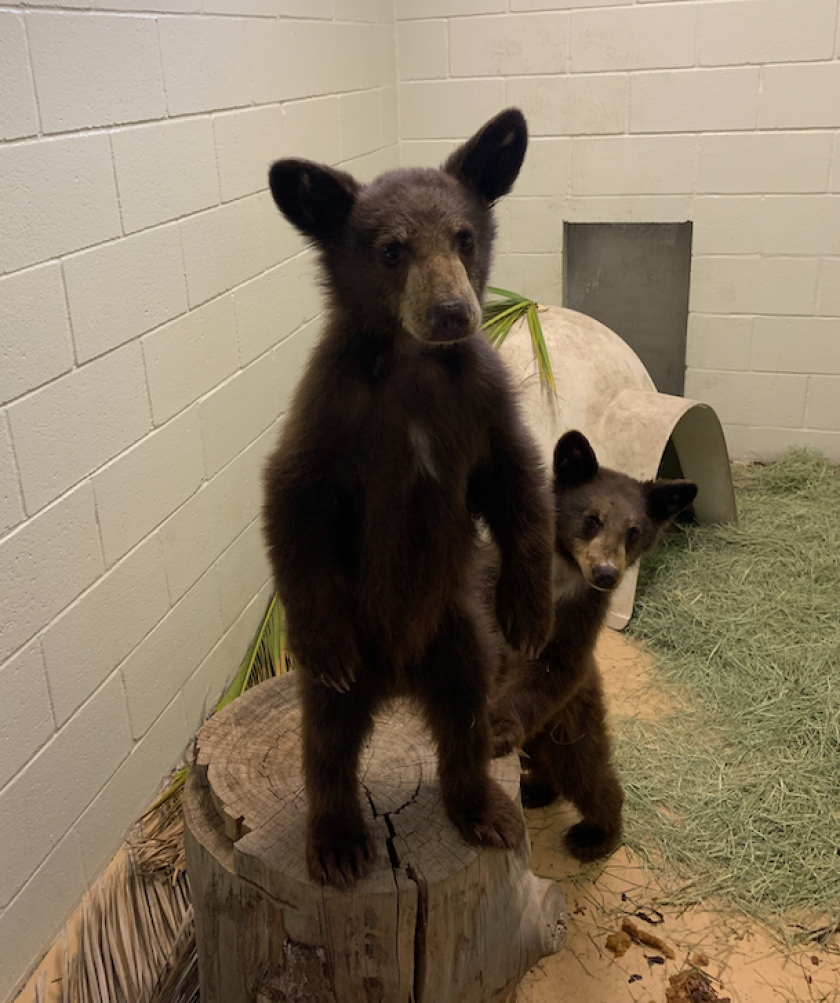 Two orphaned bear cubs were brought to the San Diego Humane Society's Ramona Wildlife Center on Aug. 18.