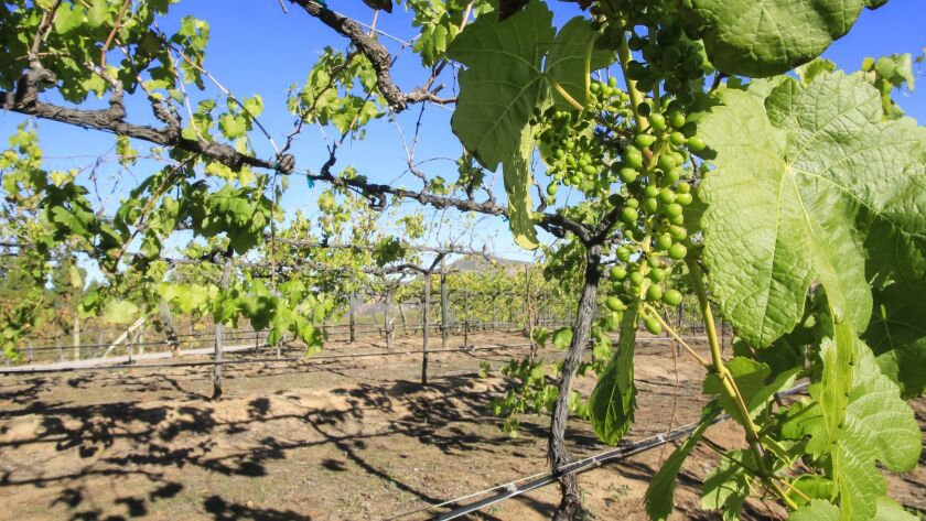 Grape vines at Orfila Vineyards and Winery in Escondido, photographed in 2015.