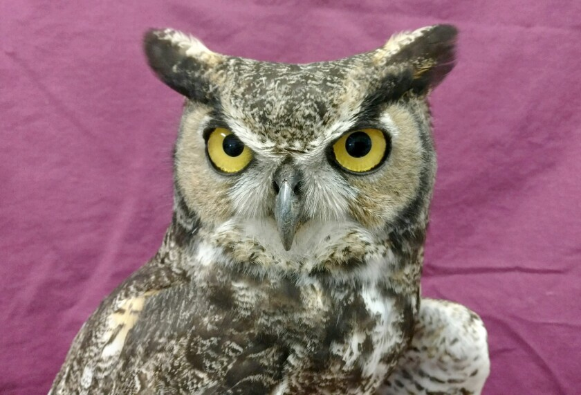 Great Horned Owl Patient 19-12