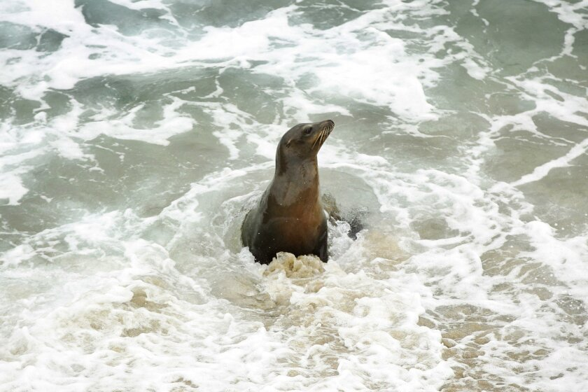 Waste from sea lions is likely one source of the spike in bacteria levels.