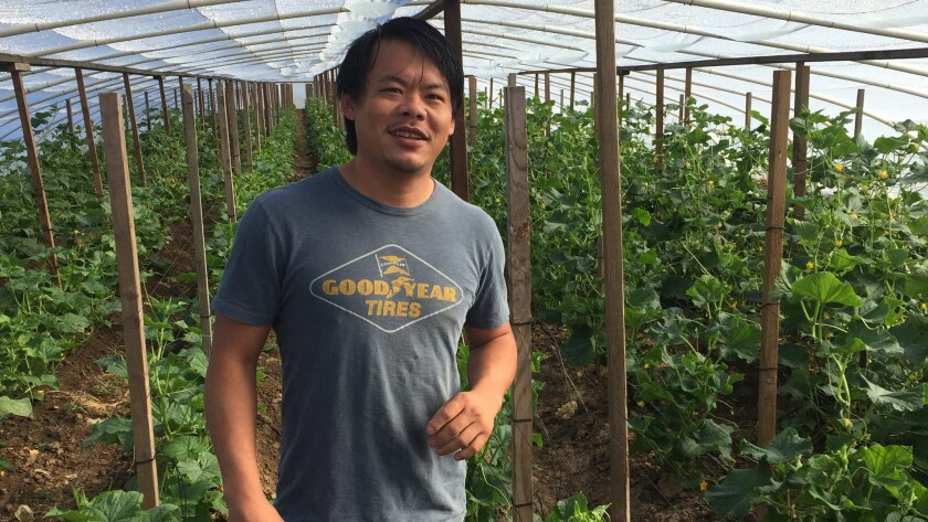 Kong Thao in a cucumber hothouse at Thao Family Farm in Fresno.