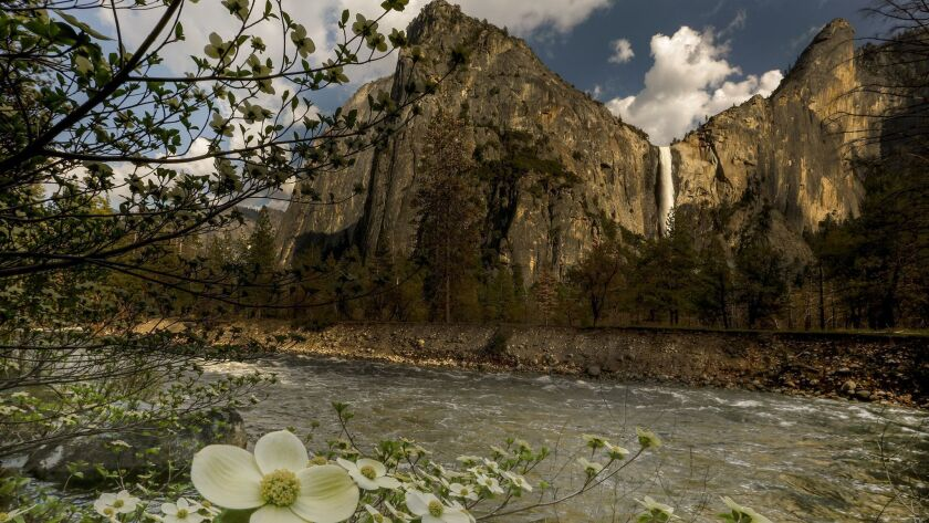 YOSEMITE VALLEY, CALIFORNIA, MAY 4, 2017: Bridalveil Fall is booming, and the dogwood are blooming w